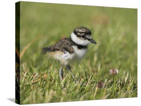 Killdeer Chick (Charadrius Vociferus) in the Grass in Victoria, British Columbia, Canada-Glenn Bartley-Stretched Canvas Print