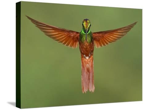 Rainbow Starfrontlet (Coeligena Iris) Hovering Near a Flower, Utuana Reserve, Ecuador-Glenn Bartley-Stretched Canvas Print