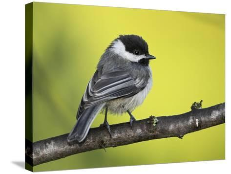Black-Capped Chickadee (Poecile Atricapillus) Perched on a Branch, Ontario Canada-Glenn Bartley-Stretched Canvas Print