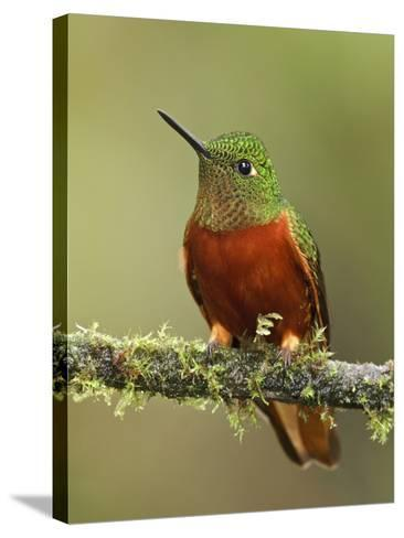 Chestnut-Breasted Coronet (Boissonneaua Matthewsii) Perched on a Branch, Tapichalaca Reserve-Glenn Bartley-Stretched Canvas Print