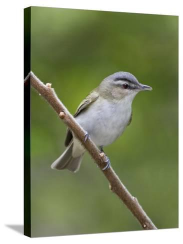 Red-Eyed Vireo (Vireo Olivaceus) Perched on a Branch, Ontario, Canada-Glenn Bartley-Stretched Canvas Print