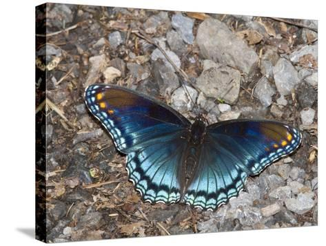 White Admiral or Red-Spotted Purple (Limenitis Arthemis), Maryland, USA-John Abbott-Stretched Canvas Print