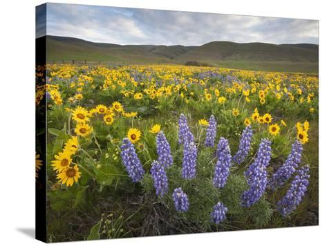 Balsamroot and Lupine Flowers, Columbia Hills, Washington, USA-Sean Bagshaw-Stretched Canvas Print