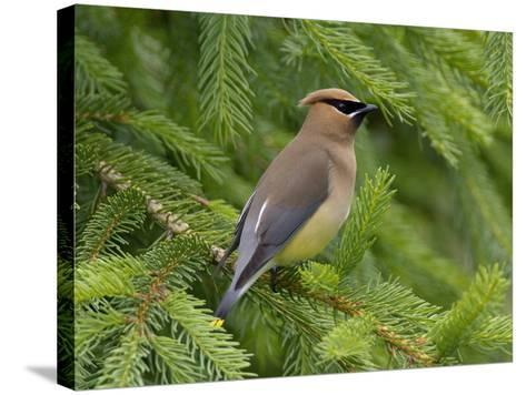 Cedar Waxwing (Bombycilla Cedrorum), Pennsylvania, USA-John Abbott-Stretched Canvas Print