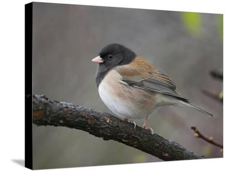 A Dark-Eyed Junco (Junco Hyemalis) Perches on a Branch in Victoria, British Columbia, Canada-Glenn Bartley-Stretched Canvas Print