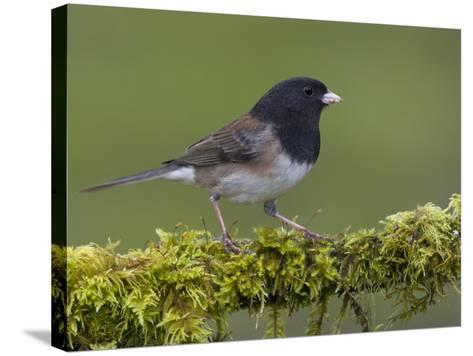 Dark-Eyed Junco (Junco Hyemalis) Perched on a Mossy Branch in Victoria, British Columbia, Canada-Glenn Bartley-Stretched Canvas Print
