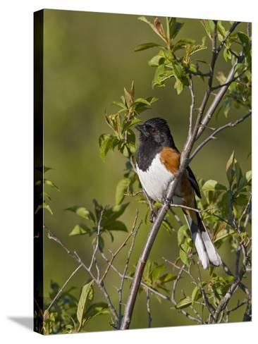 Eastern Towhee (Pipilo Erythrophthalmus) on a Branch in Ontario, Canada-Glenn Bartley-Stretched Canvas Print