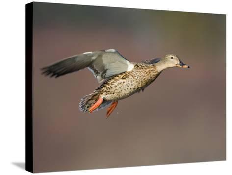 Mallard Duck (Anas Platyrhynchos) Flying-Glenn Bartley-Stretched Canvas Print