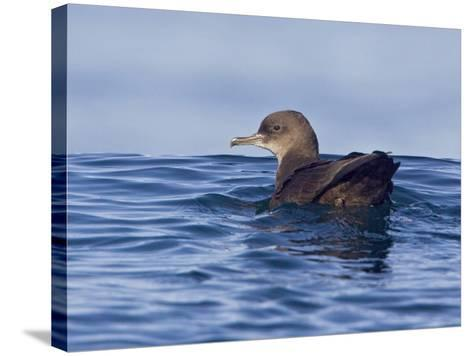 Sooty Shearwater (Puffinus Griseus) Swimming on the Ocean Near Victoria, British Columbia, Canada-Glenn Bartley-Stretched Canvas Print