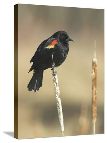 Red Winged Blackbird, North America-Glenn Bartley-Stretched Canvas Print
