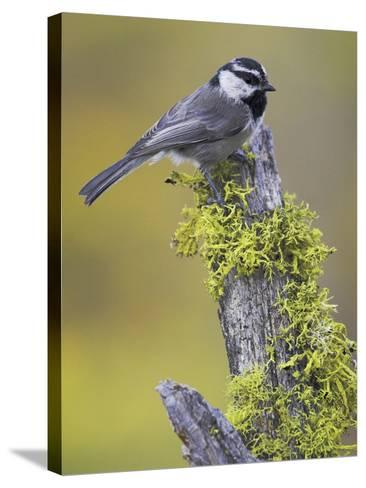 Mountain Chickadee (Poecile Gambeli) Perched on a Branch, Oregon, USA-Glenn Bartley-Stretched Canvas Print