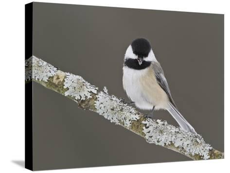 Black-Capped Chickadee (Poecile Atricapillus) Perched on a Branch, Ottawa, Ontario, Canada-Glenn Bartley-Stretched Canvas Print