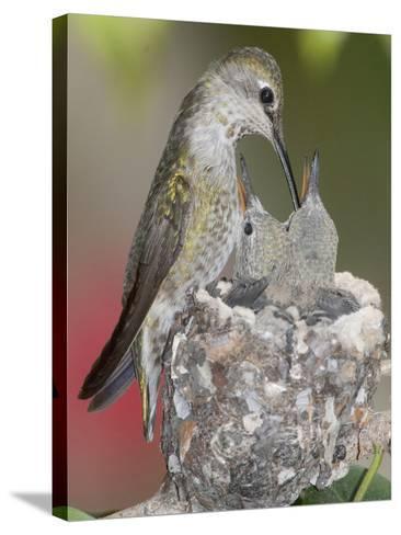 Female Anna's Hummingbird (Calypte Anna) Feeding Her Chicks in their Tiny Nest, Irvine-Hal Beral-Stretched Canvas Print