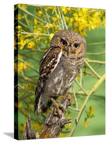Elf Owl, (Micrathene Whitneyi) Tortalita Mtns, Tucson, Arizona, USA, Captive-Rick & Nora Bowers-Stretched Canvas Print