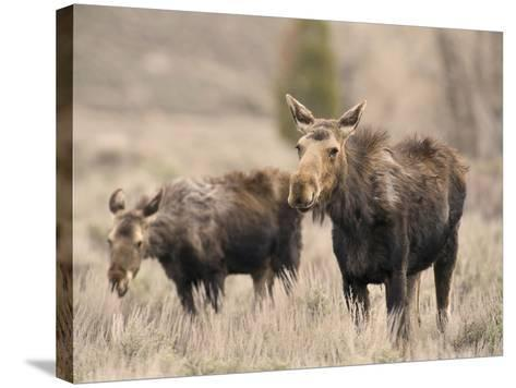 Moose Adult and Calf (Alces Alces), Grand Teton National Park, Wyoming, USA-David Cobb-Stretched Canvas Print
