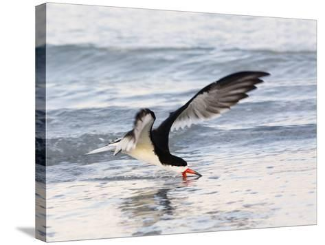 Black Skimmer (Rynchops Niger) Foraging for Fish by Skimming the Water's Surface-John Cornell-Stretched Canvas Print