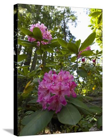 California Rhododendron, Rhododendron Macrophyllum, Kruse Rhododendron Reserve-Gerald & Buff Corsi-Stretched Canvas Print