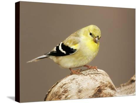 American Goldfinch (Carduelis Tristis), North America-John Cornell-Stretched Canvas Print