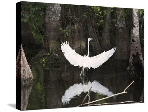 Great Egret (Ardea Alba) in Big Cypress Swamp, Everglades, Florida, USA-John Cornell-Stretched Canvas Print