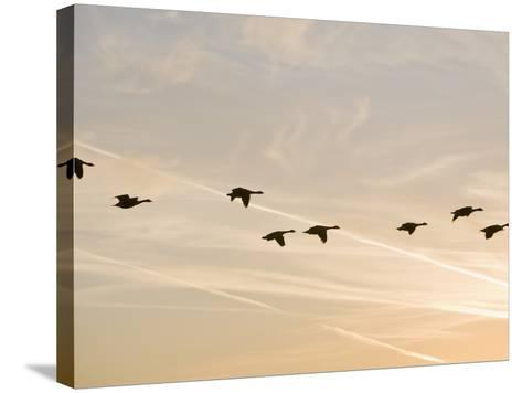 Canada Geese in Flight with Jet Contrails in the Sky Behind-Ashley Cooper-Stretched Canvas Print