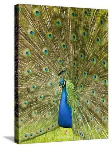 A Male Peacock Displaying-Ashley Cooper-Stretched Canvas Print