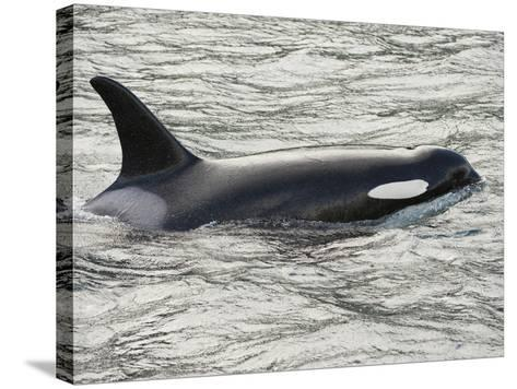 The Orca or Killer Whale (Orcinus Orca), Johnstone Strait, Vancouver Island, British Columbia-Buff & Gerald Corsi-Stretched Canvas Print