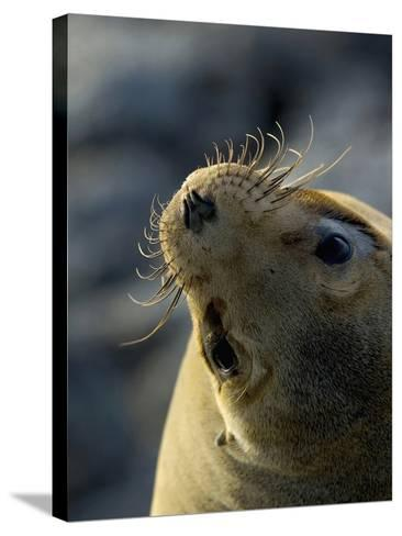 Galapagos Sea Lion, Zalophus Califoranius Wollebekii, South Plaza Island, Galapagos Islands-Gerald & Buff Corsi-Stretched Canvas Print