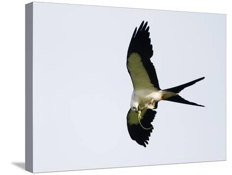 Swallow-Tailed Kite Flying with Lizard Prey in its Bill and Talons (Elanoides Forficatus)-John Cornell-Stretched Canvas Print