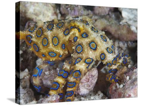 Greater Blue-Ringed Octopus (Hapalochlaena Lunulata) a Small But Highly Venomous Species-Christopher Crowley-Stretched Canvas Print