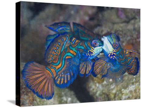 Male Mandarinfish (Synchiropus Splendidus) Fighting, One Trying to Drive the Other Away-Christopher Crowley-Stretched Canvas Print