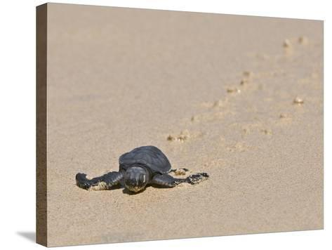 Green Sea Turtle Hatchling (Chelonia Mydas Agassizi), Galapagos Islands-Gerald & Buff Corsi-Stretched Canvas Print