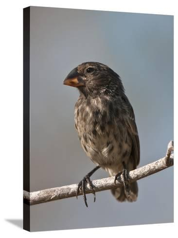 Medium Ground Finch (Geospiza Fortis), Galapagos Islands, Ecuador-Gerald & Buff Corsi-Stretched Canvas Print