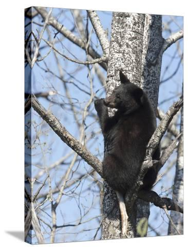 Black Bear (Ursus Americanus) Sitting in a Tree, Vince Shute Wildlife Sanctuary, Minnesota, USA-Cheryl Ertelt-Stretched Canvas Print