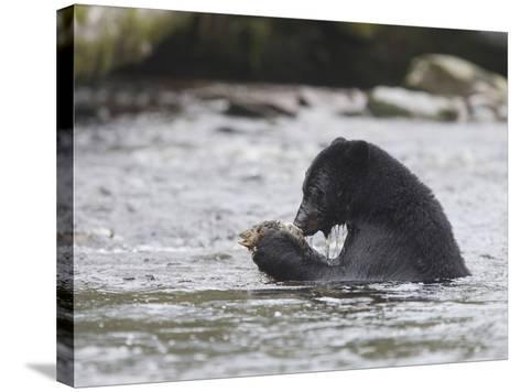 Black Bear (Ursus Americanus) Sitting in a Stream Eating a Salmon it Just Caught, British Columbia-Cheryl Ertelt-Stretched Canvas Print