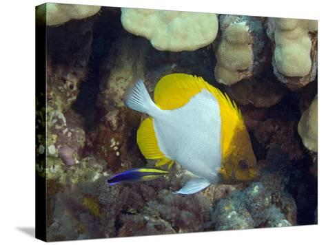 Pyramid Butterflyfish (Hemitaurichthys Polylepis) and an Endemic Hawaiian Cleaner Wrasse-David Fleetham-Stretched Canvas Print