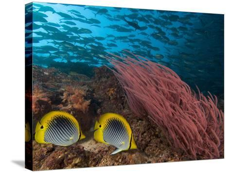 Coral Reef Scene with Schooling Jacks in the Background, Red Alcyonarian Corals-David Fleetham-Stretched Canvas Print