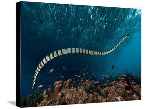 The Banded or Yellow-Lipped Sea Krait Swimming Among Fish Schools over Coral Reef-David Fleetham-Stretched Canvas Print