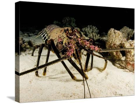 Banded Spiny Lobster (Panulirus Marginatus), an Endemic Species to Hawaii, USA-David Fleetham-Stretched Canvas Print