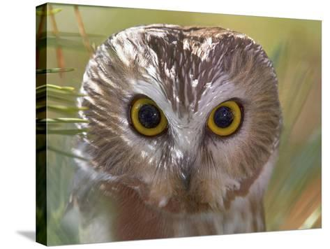 Northern Saw-Whet Owl Head-Richard Ettlinger-Stretched Canvas Print
