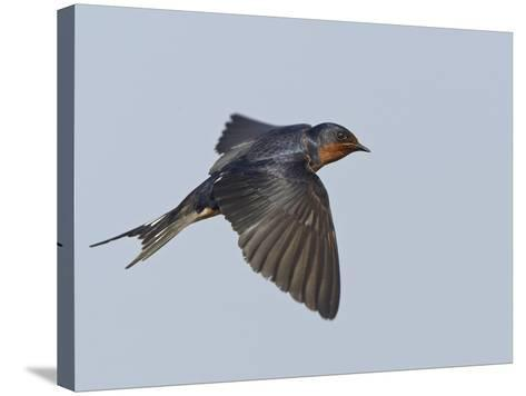 Tree Swallow in Flight-Richard Ettlinger-Stretched Canvas Print