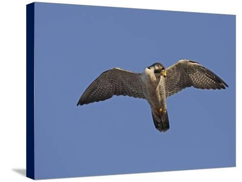 Peregrine Falcon Flying (Falco Peregrinus)-Richard Ettlinger-Stretched Canvas Print