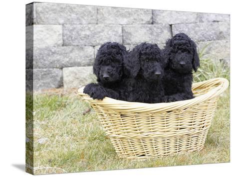 Standard Poodle Puppies 8 Weeks Old-Cheryl Ertelt-Stretched Canvas Print
