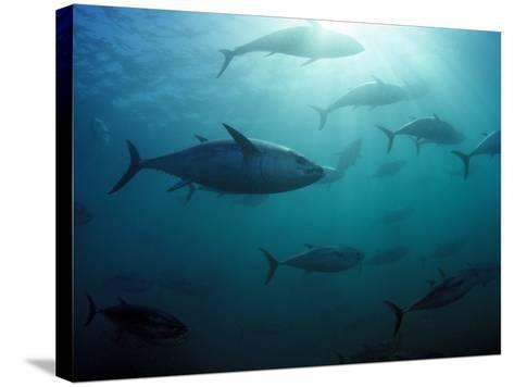 Southern Bluefin Tuna (Thunnus Maccoyii) Circle in Holding Pen Off Port Lincoln, South Australia-David Fleetham-Stretched Canvas Print