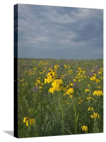 Coneflowers in Native Tallgrass Prairie under Gray Sky-Clint Farlinger-Stretched Canvas Print