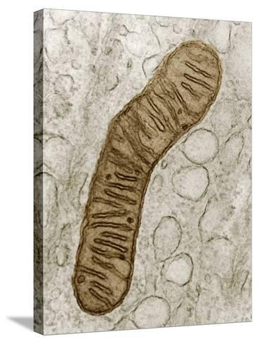 Cross-Section of a Typical Mitochondrion, Showing the Internal Cristae, TEM-Donald Fawcett-Stretched Canvas Print