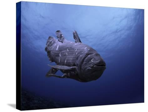 Digital Illustration of Coelacanth That Was Believed to Have Become Extinct-David Fleetham-Stretched Canvas Print