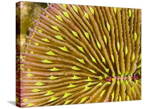 Mushroom Coral (Fungia Scutaria) Is Unique in the Coral World in That it Does Not Attach Itself-David Fleetham-Stretched Canvas Print
