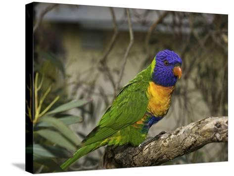 The Rainbow Lorikeet (Trichoglossus Haematodus)-David Fleetham-Stretched Canvas Print