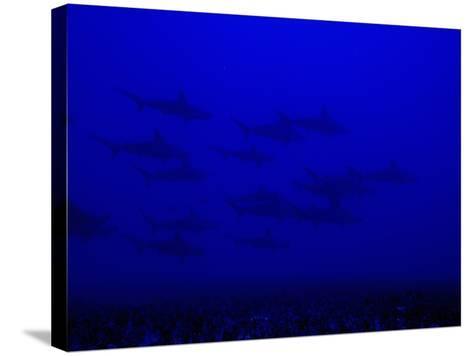 School of Scalloped Hammerhead Sharks (Sphyrna Lewini), Molokai, Hawaii, USA-David Fleetham-Stretched Canvas Print