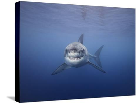 Great White Shark (Carcharodon Carcharias), Guadalupe Island, Mexico-David Fleetham-Stretched Canvas Print